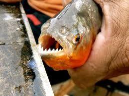 Pesces del Rio Amazonas La Piraña: Se denomina habitualmente pirañas a varios peces carnívoros u omnívoros de agua dulce que viven en los ríos de Sudamérica. La denominación incluye algunas o todas las especies de varios géneros dentro de la subfamilia Serrasalminae