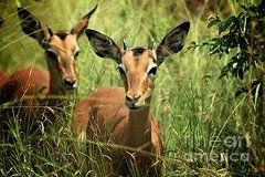 Art - Impalas   by Janet Sewell
