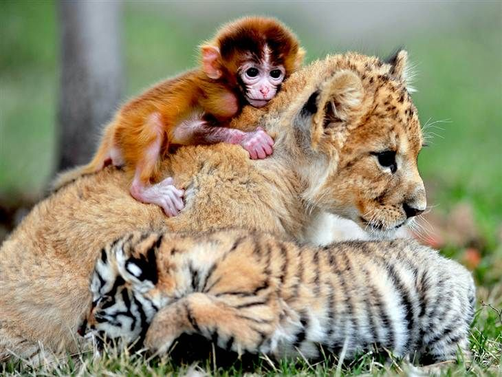 25+ best ideas about Information about tiger on Pinterest | Tiger ...
