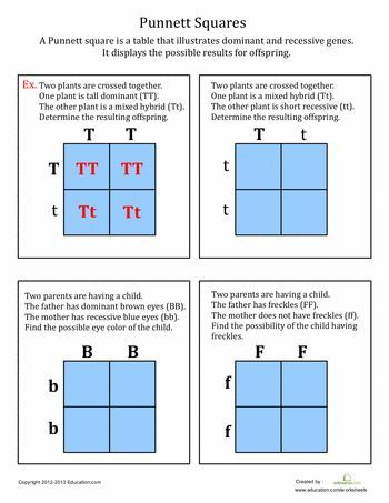 Worksheets: Punnett Squares