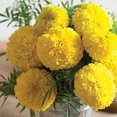 Giant Yellow Marigold Seeds (Tagetes erecta) + FREE Bonus 6 Variety Seed Pack - a $30 Value!