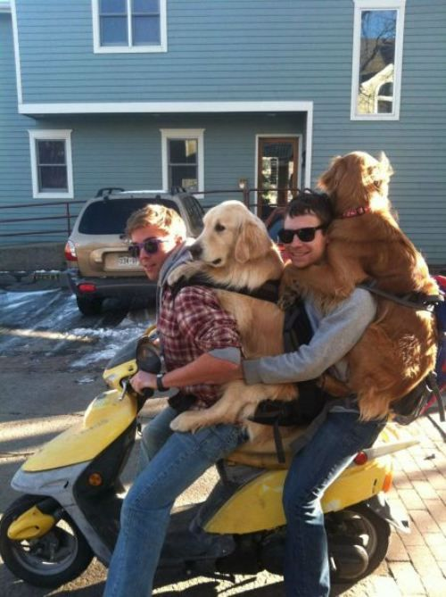How did this come about? Guy 1: Hey wanna try a golden retriever backpack? Guy 2: Hell ya and then we should go on a MoPed.: Families Roads Trips, Friends, Dogs, Scooters, Funny, Puppys, Dreams Coming True, Golden Retriever, Animal
