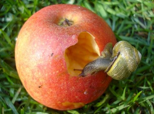 Snail Eating A Peach Animals Plants And Bugs