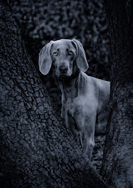 great pictureWeimaraner Puppies, Grey Ghosts, Gray Ghosts, Stuffed Animal, Beautiful Dogs, Cute Dogs, Pets Photography, Paul Walker, Photography Book