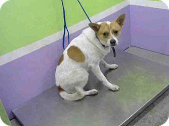 Houston, TX - Cardigan Welsh Corgi Mix. Meet A1487765, a dog for adoption. http://www.adoptapet.com/pet/18302235-houston-texas-cardigan-welsh-corgi-mix
