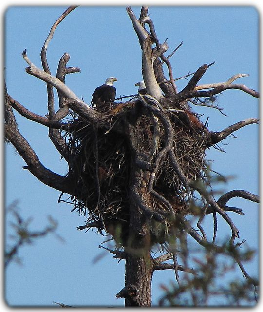 Bald Eagles will use the same nest over again. Each year they add more and more twigs. The weight sometimes is too much for the tree.