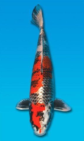 10 best images about koi handmade koi ceramic mosaic for Koi fish scales