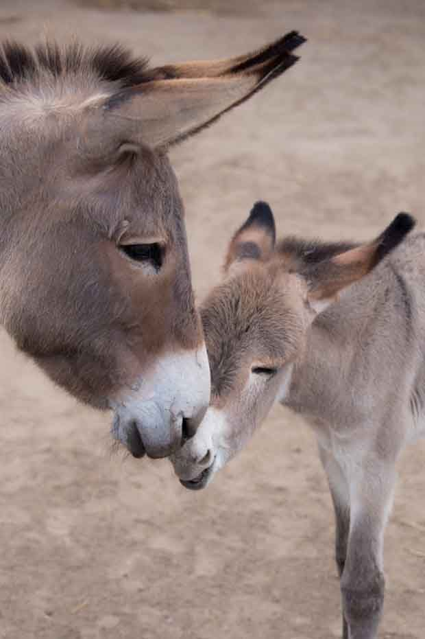 15+ funny & cute baby donkeys