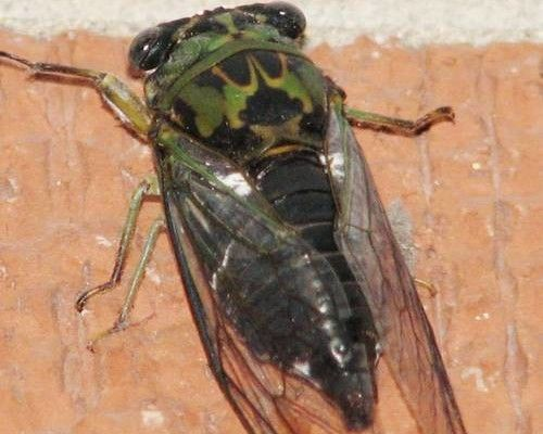6 Cicada Bug Pictures