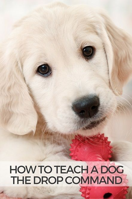 How to teach a dog the drop command and prevent toy and food possessiveness. First use food to reward your dog and slowly decrease how often you use food.