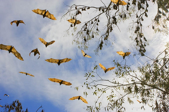 Little Red Flying Foxes, Australia by AusBatPerson