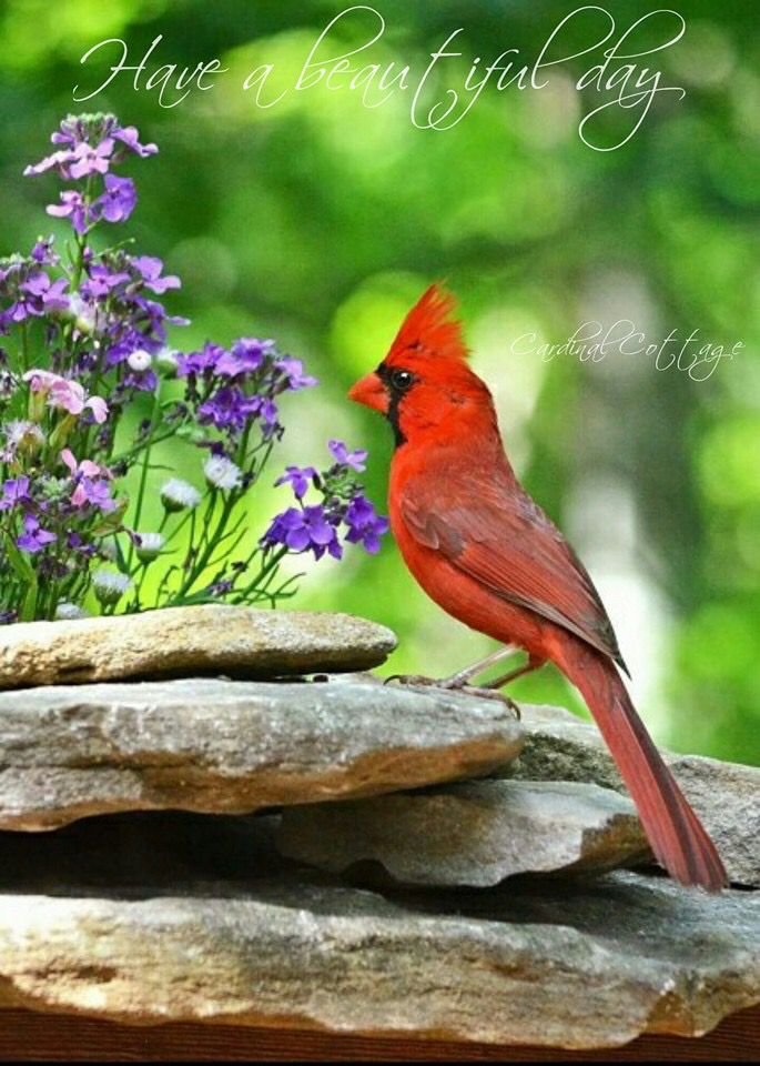 Cardinal Picture 1500 X 1000: 1000+ Images About Cardinals From HEAVEN On Pinterest