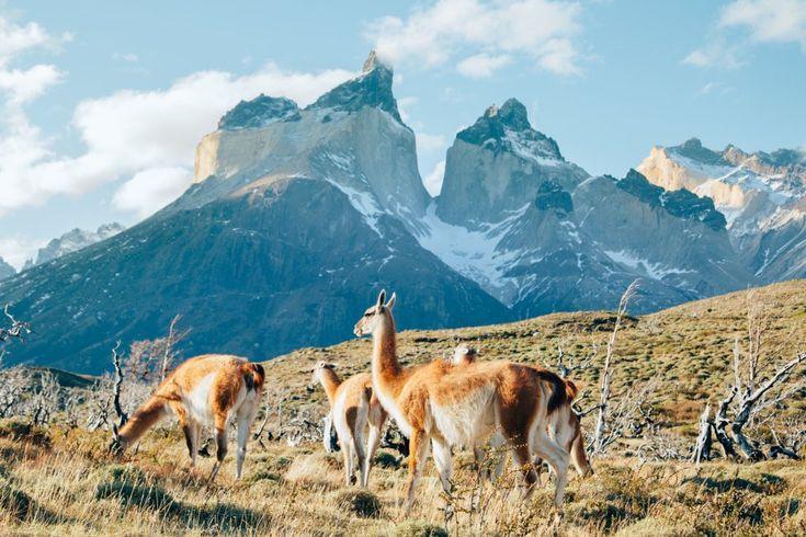 Quienes han visitado el parque nacional Torres del Paine (en la foto), en la región de Magallanes y Antártica chilena, coinciden en destacar la excepcionalidad de su paisaje: macizos majestuosos, lagos color turquesa, icebergs, ríos, bosques de lengas (roble de Tierra del Fuego o roble blanco), pampas vastísimas recorridas por guanacos, ñandúes y pumas. Esta Reserva de la Biosfera de la Unesco recibe tal afluencia de visitantes que es obligatorio reservar para pernoctar en sus campamentos y…