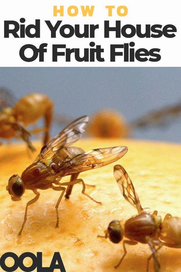 How To Quickly Rid Your House Of Fruit Flies Fruit Flies Fruit Housekeeping Tips