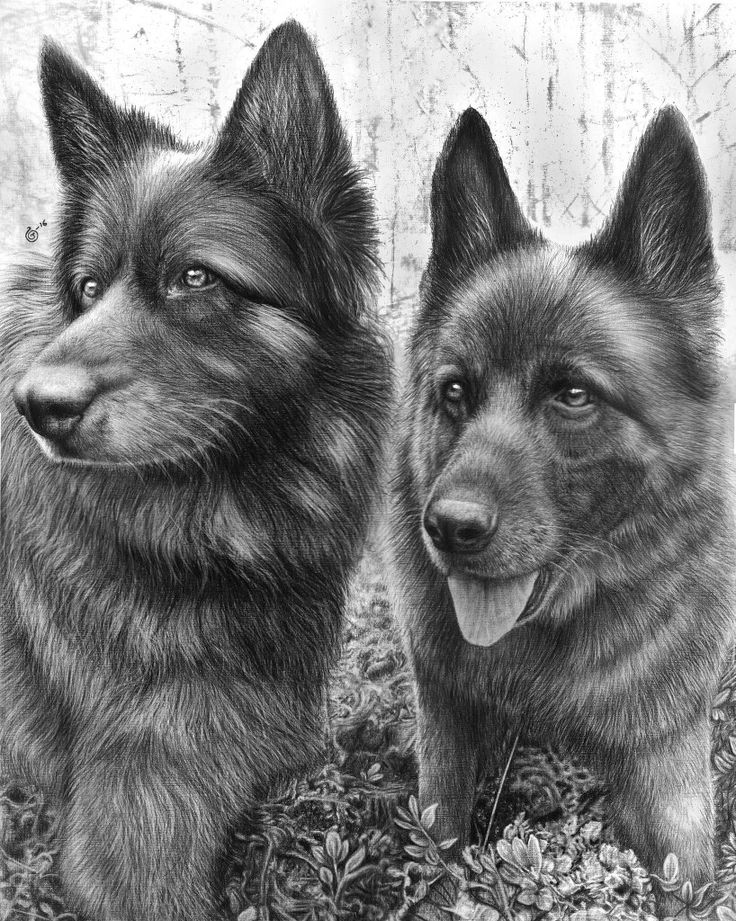 Finished result of the Photorealistic pencildrawing of two German Shepherds. ❤✏✏✏✏  Time: 30hours Tools: 2B-8B Mars Lumograph STAEDTLER Black, tortillion, kneaded eraser & TOMBOW Mono Zero Eraserpencil Paper: A2 Artist: Jennifer Carlsson Country: Sweden