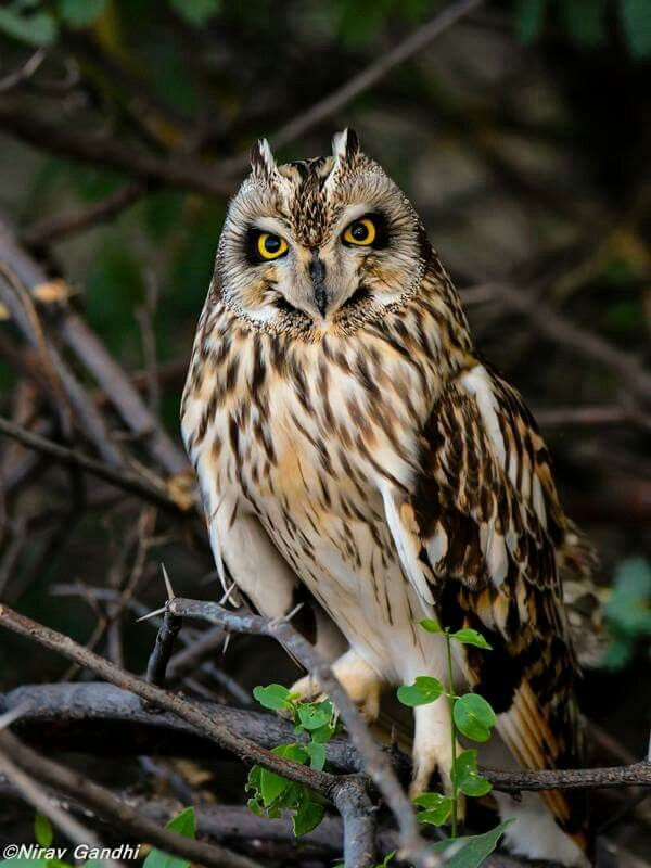 Short-eared owl.   Little run of kutch. Photo by Nirav Gandhi.