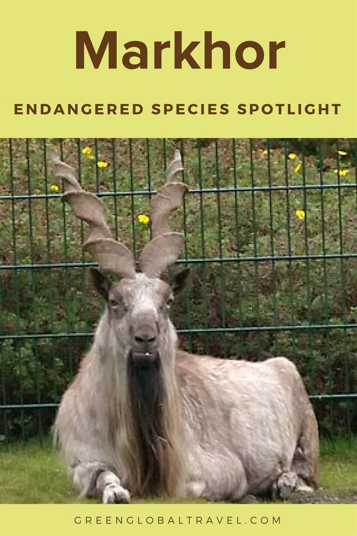 Learn about the Markhor, an endangered species | Afghanistan | Pakistan | India | Wild Goat |