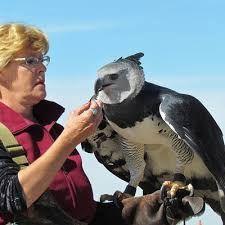 Harpia wielka (Harpia harpyja) – gatunek dużego ptaka drapieżnego z rodziny jastrzębiowatych (Accipitridae); jedyny przedstawiciel rodzaju Harpia. Zamieszkuje lasy tropikalne w Ameryce Południowej i Środkowej, od południowego Meksyku do północnej Argentyny. Najpotężniejszy ptak drapieżny Nowego Świata. Większym od harpii ptakiem drapieżnym był wymarły orzeł Haasta. Pióra stanowiły częstą ozdobę strojów Indian. dł. ciała 105 cm, rozpiętość skrzydeł 200 cm, waga 8 kg