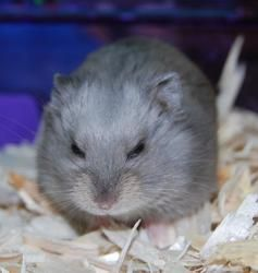 Dwarf Hamsters is an adoptable Hamster Hamster in Brooklyn, NY. We currently have a few male dwarf hamsters available for adoption. Their adoption fee is $5 each. If you are interested in adopting a d...