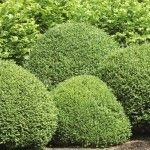 Members of the genus Buxus include about thirty species and 160 cultivars, including the common American boxwood. Easy to care for in the landscape, occasional trimming may be necessary. Get tips for that here.