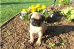 Pug Puppies For Sale - Puppy Breeders
