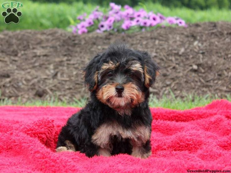 yorkie poo puppies for sale in pa 191 best puppies for sale images on pinterest doggies 4479