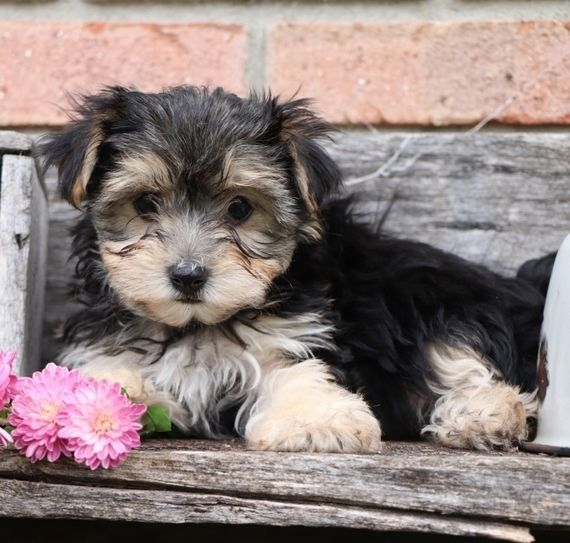 Kylie Is A Female Morkie Puppy For Sale At Puppyspot Call Us Today To Learn More Reference 573373 When You Cal Morkie Puppies Morkie Puppies For Sale Puppies