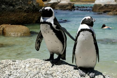 Penguins on Boulders Beach - never would have thought Penguins would be in Africa!