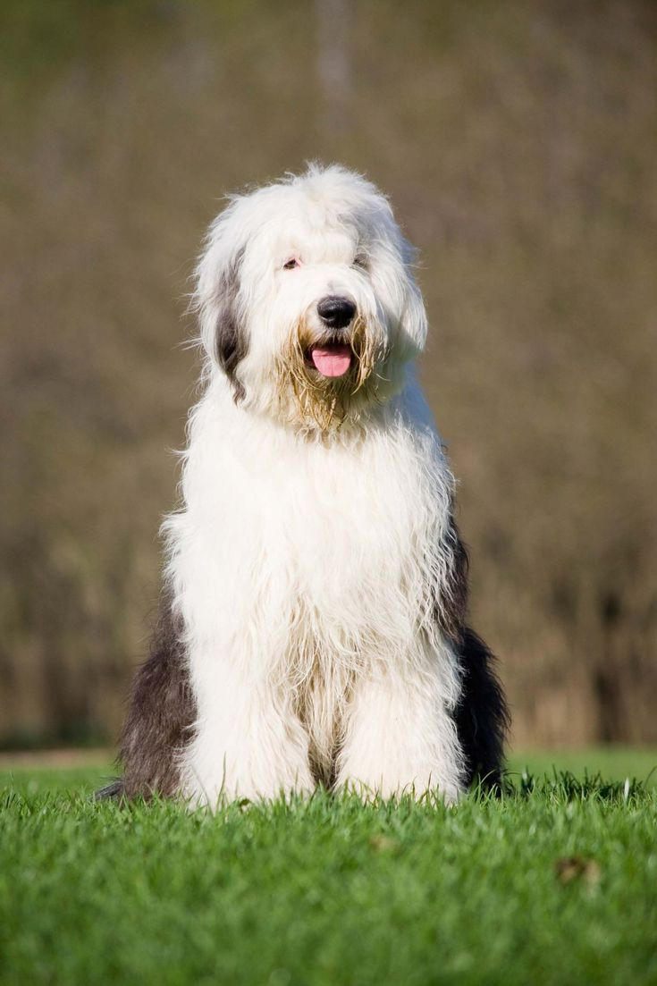 Bobtail, ¡descubre antiguo perro pastor inglés! #perros #mascotas #bobtail