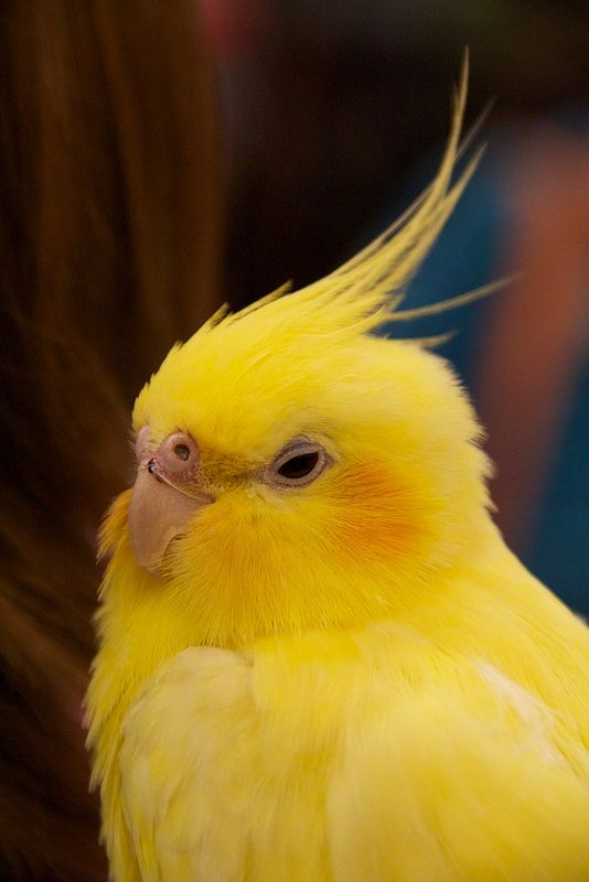 Have never seen an all yellow cockatiel before soooo cute for Cocktail yellow bird