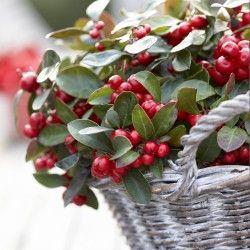 Kleine Pflanze, große Wirkung: Die immergrüne Rebhuhnbeere zeigt Farbe in der kalten Jahreszeit. Sie schmückt sich bis zum Frühjahr mit leuchtend roten Beeren. Weil sie klein und kompakt bleibt, ist sie ideal für Töpfe und Kästen.