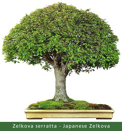 Japanese Zelkova Bonsai