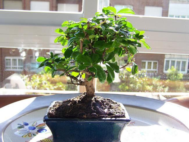 Fiche d'entretien du bonsai Carmona : Présentation, arrosage, perte de feuille, engrais, parasites... Découvrez nos conseils d'entretien pour le Carmona.