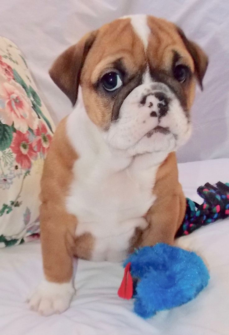 Bright Star is a fawn female English Bulldog puppy with champion lines being sold with full breeding rights, a one year pup guarantee, shots and lots of soft wrinkles. For more information call/text Adele at 303-653-1437 and come see us at www.tankrtots.com