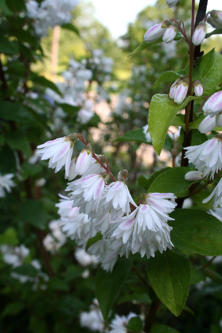 White Flower Bushes Pics Yahoo Search Results
