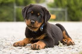 "German Rottweiler Breed - This is like my ""grand-dog"" Romy, she is the sweetest thing!"
