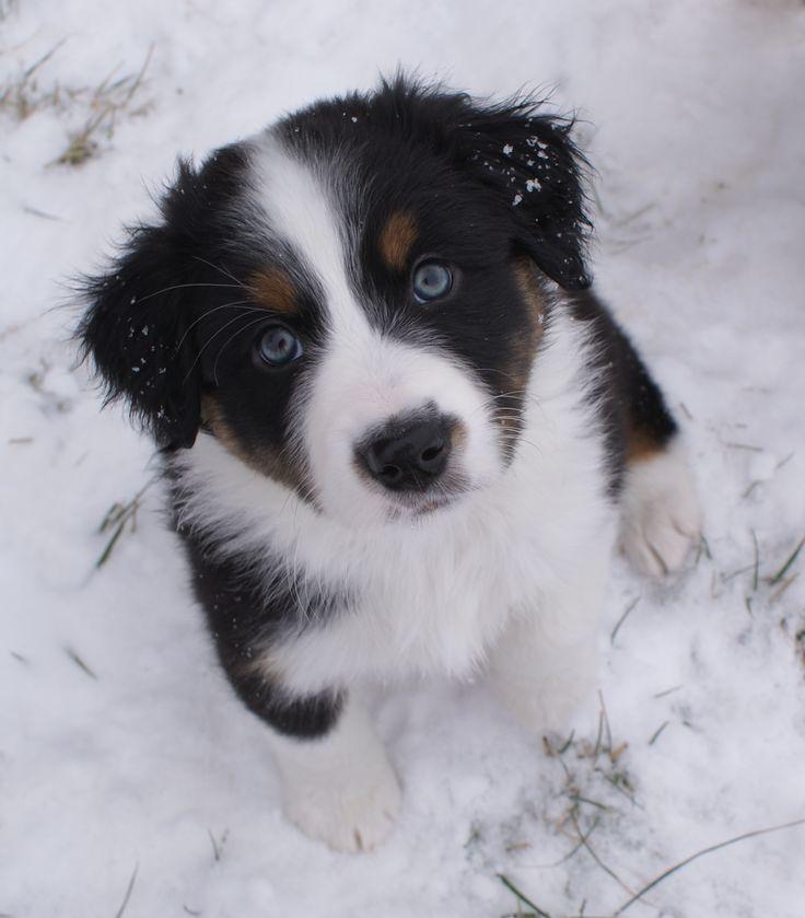 FloJo in the snow (black tri Imagineer Aussie puppy