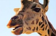 Zoo Kills Healthy Giraffe 'Marius' to Prevent Inbreeding | Ecorazzi