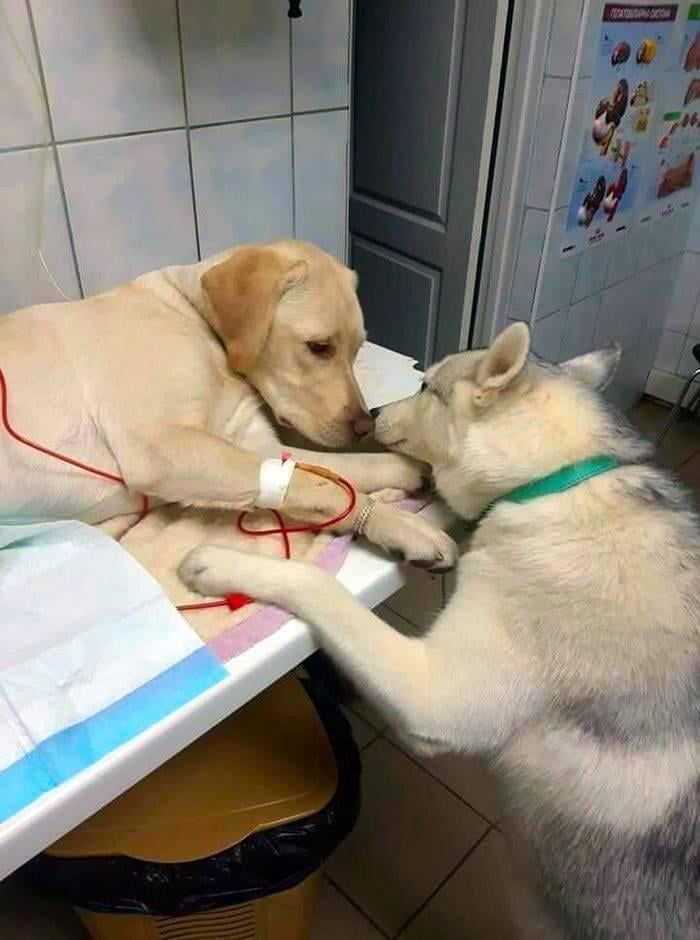 This Veterinarian Has A Comfort Dog Assistant That Helps Sick Dog