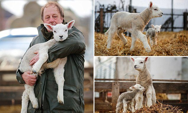 Lamb is born three times the size of a normal baby sheep