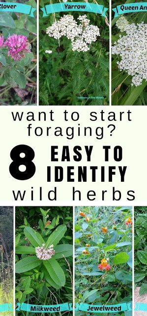 How to start foraging for wild herbs beginning with these 8 easy to identify plants. Collecting herbs and medicinal plants that can be found in the wild or even in your own backyard.