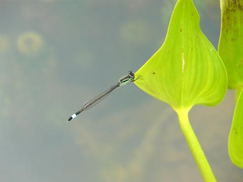 Blue-tailed Damselfly: give us a ring | Nature Notes