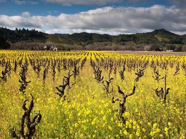 67 best Vineyard Painting images on Pinterest