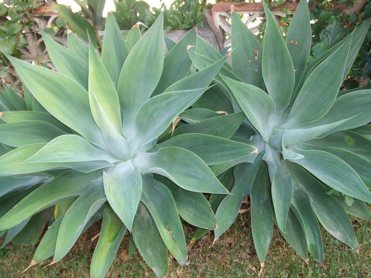 agave atenuata