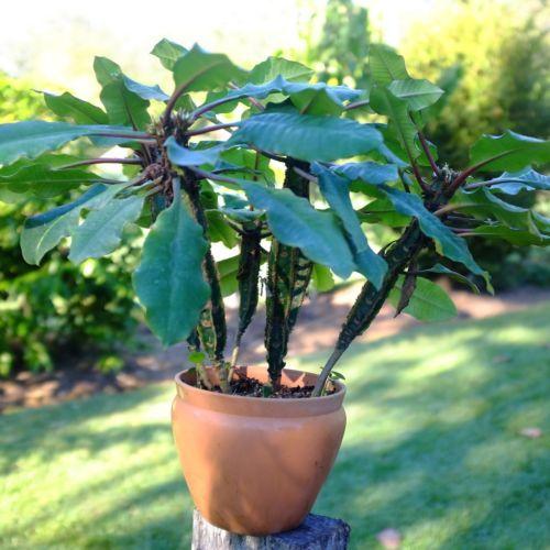 Bien-aimé Les 25 meilleures idées de la catégorie Cactus euphorbia sur  RT14