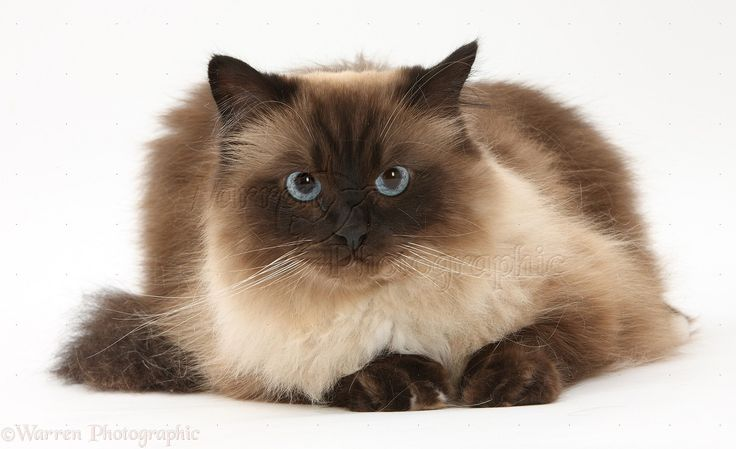Xandimus: Birman High Quality Wallpaper #373547