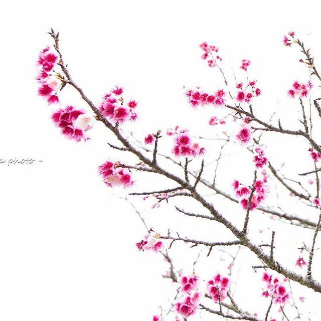 【mameda_photo】さんのInstagramをピンしています。 《. . 花言葉は あでやかな美人 . . 寒緋桜 . . 今朝は凄く寒い . . #写真好きな人と繋がりたい #ファインダー越しの私の世界 #沖縄 #沖縄カメラ #写真好き #canon #キヤノン #5dmark3 #東京カメラ部 #tokyocameraclub #springhascome #風景 #サクラ #桜 #Sakura #沖縄の桜 #寒緋桜 #緋寒桜 #Sakura #八重岳 #本部町八重岳 #濃いピンク色 #日本で一番早いさくらまつり #CherryBlossoms #しばらくサクラフォト #さくらさくら #あでやかな美人 #春光 #春の訪れ #眩いひかり》