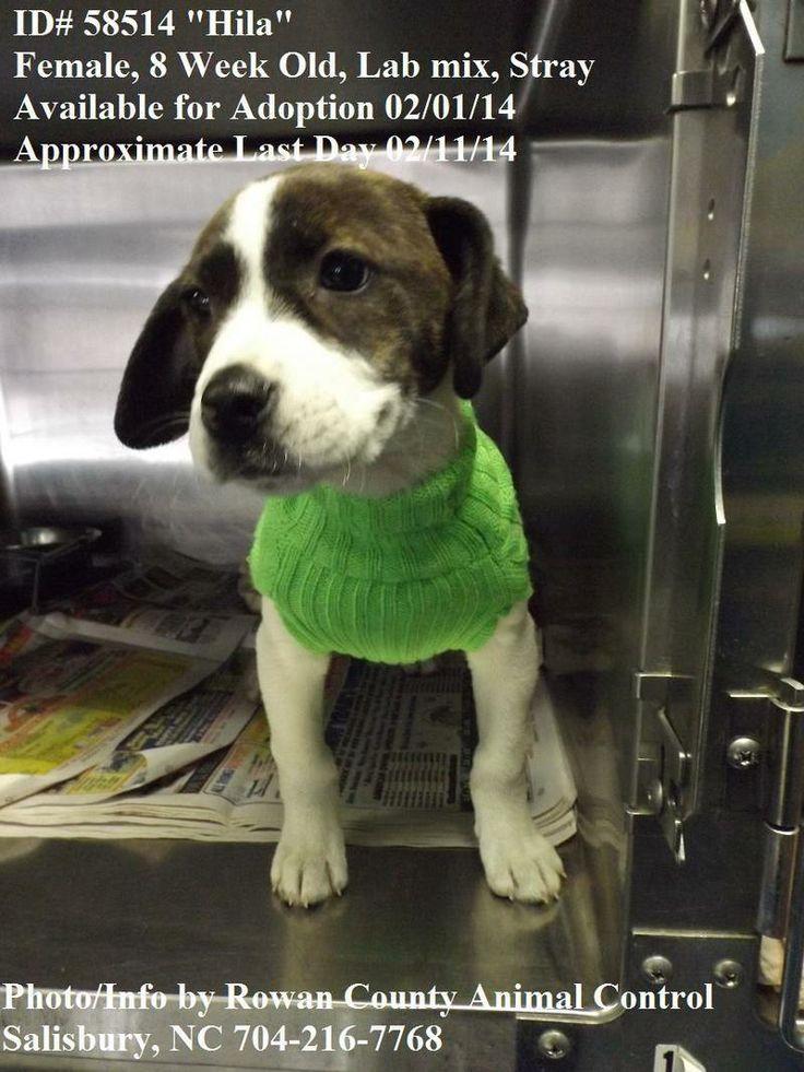 Petfinder  Adoptable | Dog | Labrador Retriever | Salisbury, NC | Hila - ID# 58514 last day 2/11/14