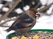 Gros-bec casse-noyaux — Wikipédia