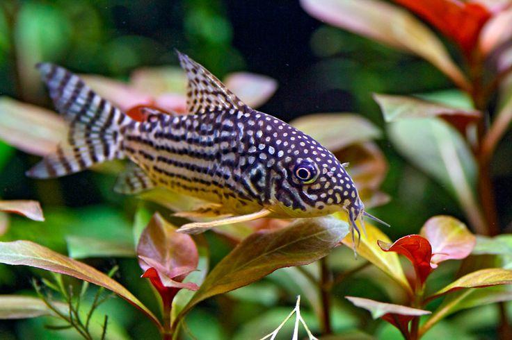 Corydoras julii